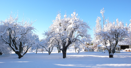 orchard in snow.