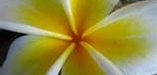 frangipanishop