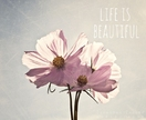 Life is Beautiful - 8x10 pale pink cosmos flower photo - inspirational, typography, pastel spring summer room decor