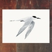 White Fronted Tern - Tara - New Zealand Bird A4 Archival Art Print