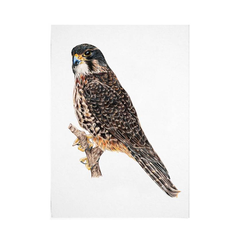 Falcon A4 Archival Art Print