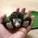 Hedgehogs in a Box PDF Knitting Pattern