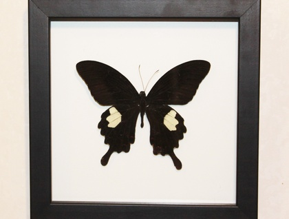 Large Real Framed Butterfly | Felt