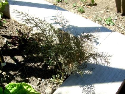 Big Bunny's Bronze Fennel (Herb)