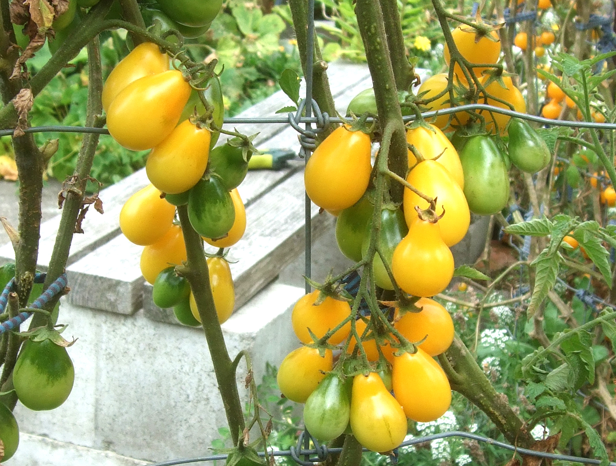 "Picture of Live Tomato Yellow Pear Plant Fit 4"" Pot"