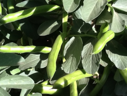 Big Bunny's Coles Early Dwarf Broad Beans
