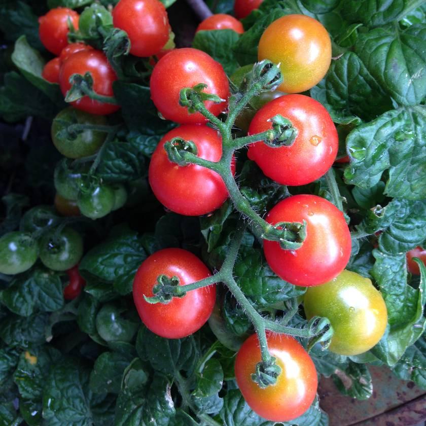 Big Bunny's Henry Harrington's Dwarf Cherry Tomato