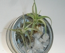 Magnet Tin Bubble Air Plant for your Fridge