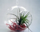 ECOBUBBLE, 1 x ROUND Glass Bubble & Air Plant