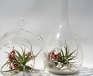 ECOBUBBLE, 2 x Glass Bubbles & Air Plants, (Shape of your Choice, Round or Drop)