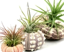 Sea Urchins & Air Plants, Group of Three
