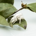 Cicada shell pin - sterling silver