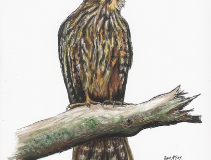 New Zealand Falcon A4 ORIGINAL Watercolour and Ink pen painting