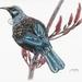 New Zealand Tui Bird A4 Print