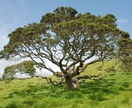 Pohutukawa Tree in the Far North