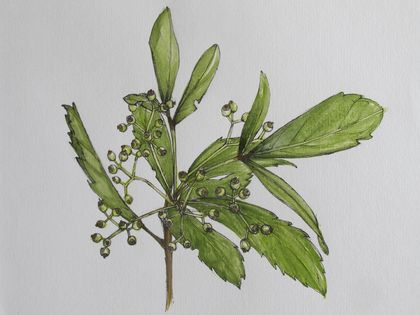 Pen and Watercolour of Horoeka/Lancewood - Giclee Fine Art Print