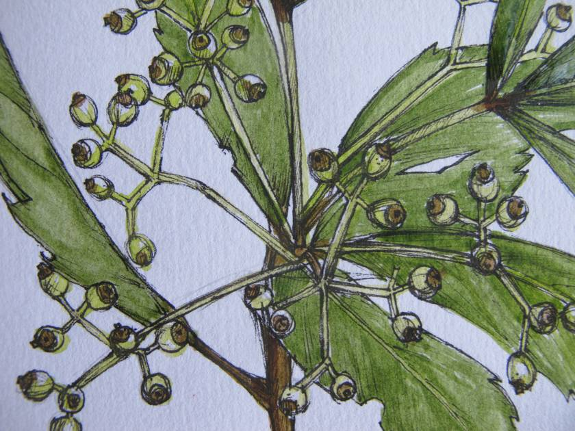 Pen and Watercolour of Horoeka/Lancewood - Giclee Fine Art Print
