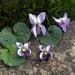 Mid purple sweet violet studs, individually cut, shaped & enamelled fine silver flower earrings