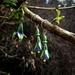 NZ Tree Fuchsia (Kotukutuku) large earrings, individually enamelled sterling silver flower earrings