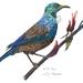 Art Print NZ Tui Bird