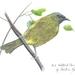 Art Print NZ Bellbird
