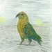 Art Print NZ Kea Bird