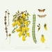 Kowhai and Moth - Limited Edition Print