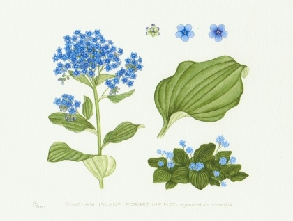 Chatham Island Forget-me-not - Limited Edition Print