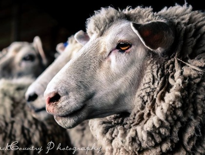 'Full Wool Ewe' canvas