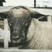 'The Black Face Ram' canvas, ready to hang - 40x60cm