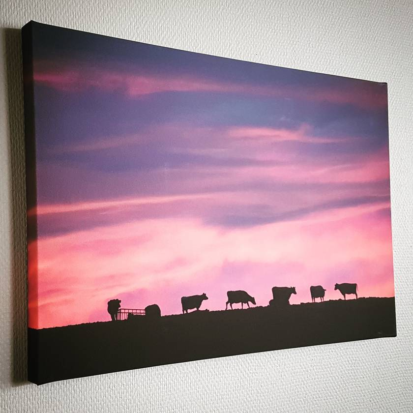 'Sunset Cows' canvas