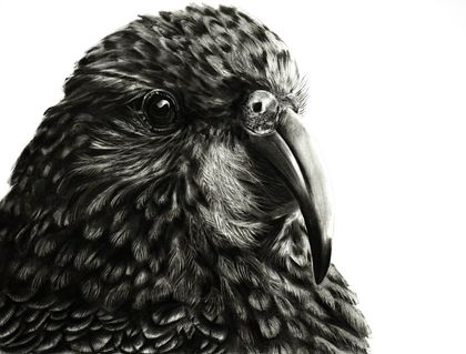 Kea 2019 limited edition A2 print