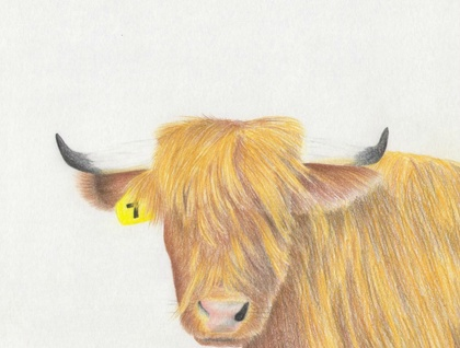 Highland cow - A4 print