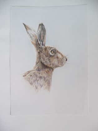 Hare - Coloured pencil drawing