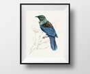 New Zealand native bird Tūī, illustrated Large print A4, from original watercolor and ink painting artwork