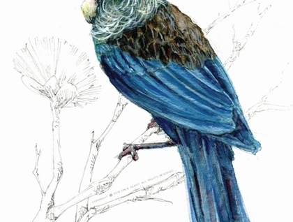 New Zealand native bird Tūī, illustrated Large print A3, from original watercolor and ink painting artwork