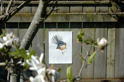 Fantail, New Zealand native bird, illustrated Large print A3, print from original watercolor and ink painting artwork