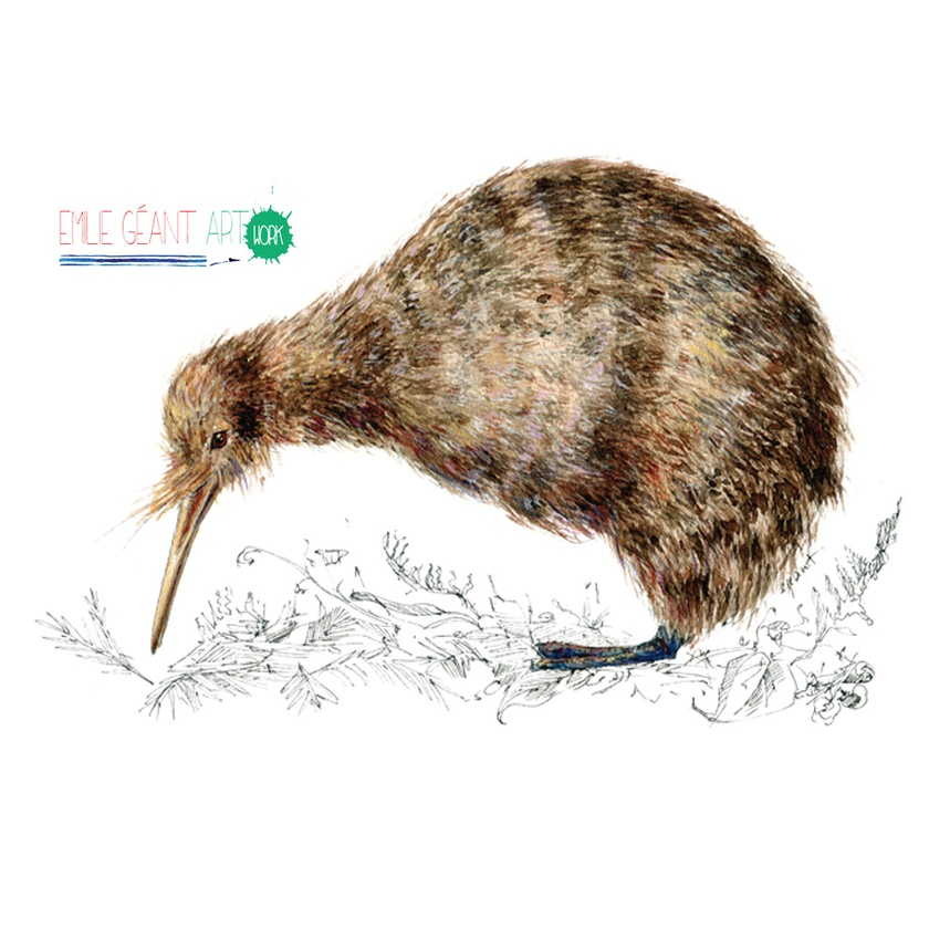 Kiwi,  New Zealand native bird illustration, print from original watercolor and ink painting artwork