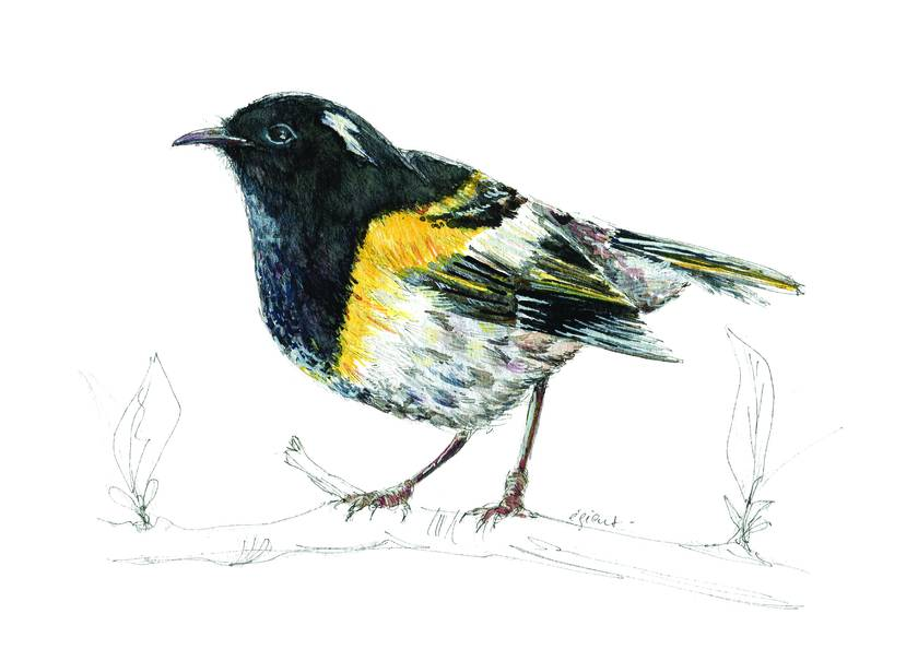 Stitch bird (or Hihi)  New Zealand native bird illustration, A3 print from original watercolor and ink painting artwork
