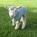 Lambs Coat