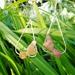 Piwakawaka Earrings