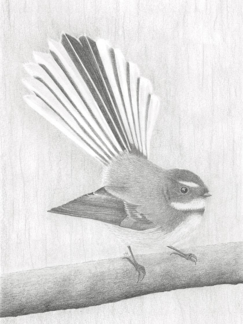 Friendly Fantail Print