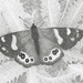 Red Admiral Butterfly Print