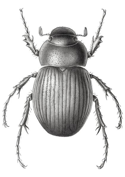 Limited edition giclee print of graphite drawing of Cromwell Chafer