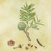 'Kauri - Agathis australis' - A3 Limited Edition Giclee Print