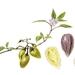 'Pepino - Solanum muricatum' - A3 Limited Edition Giclée Print