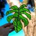 Glass monstera leaf - large