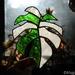 Variegated glass monstera leaf