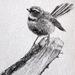 (Print) Small Fantail pen sketch