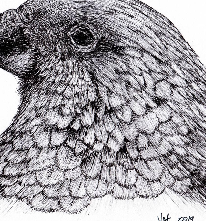 Kea in ink Print